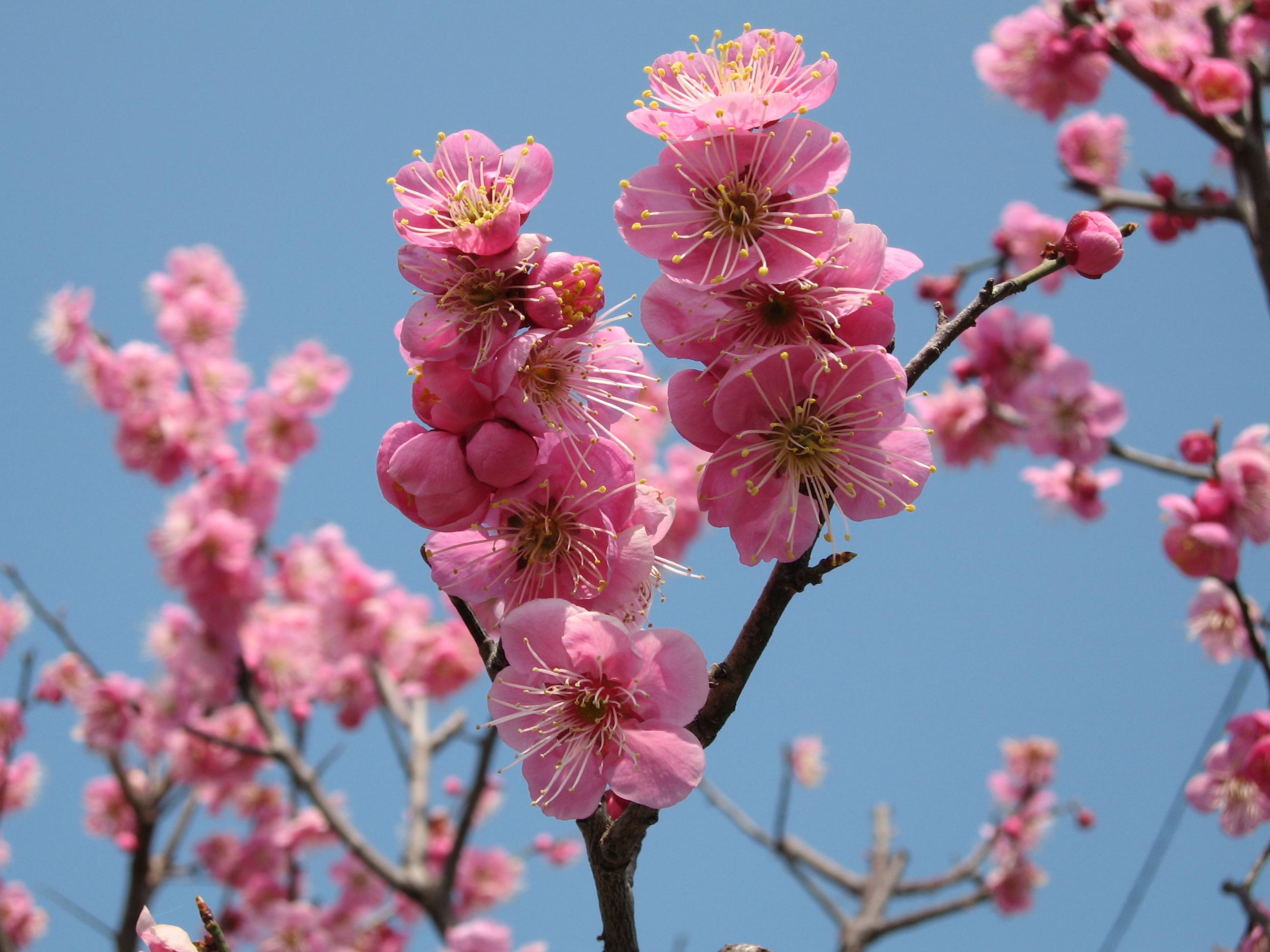 梅の花20060307 (1)