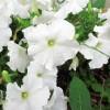 白いペチュニアの無料写真
