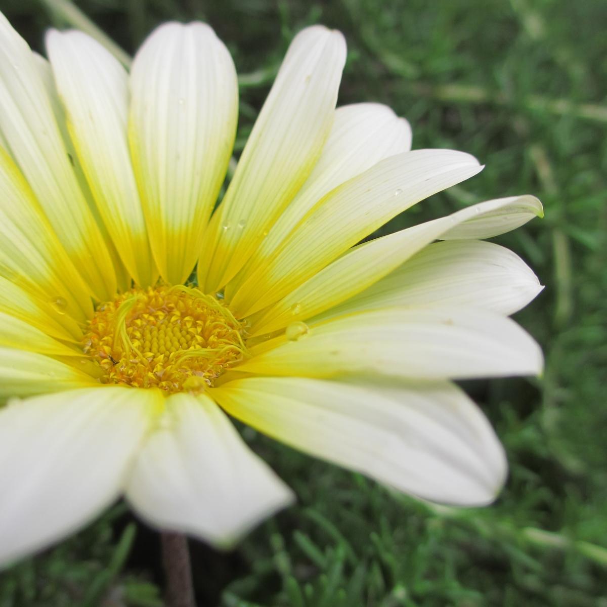 黄色いガーベラ20150624 (9)