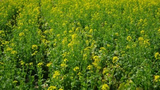 黄色い絨毯!菜花のフリー写真