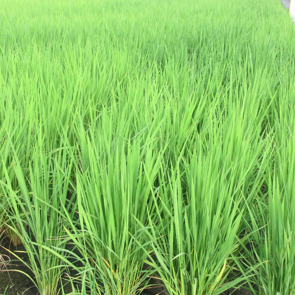 7月の田んぼの稲20150710 (3)