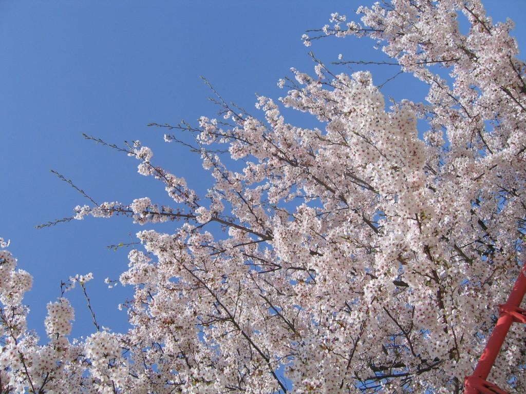桜20050413