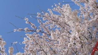 入園式拒否!入園式の時に撮影した桜