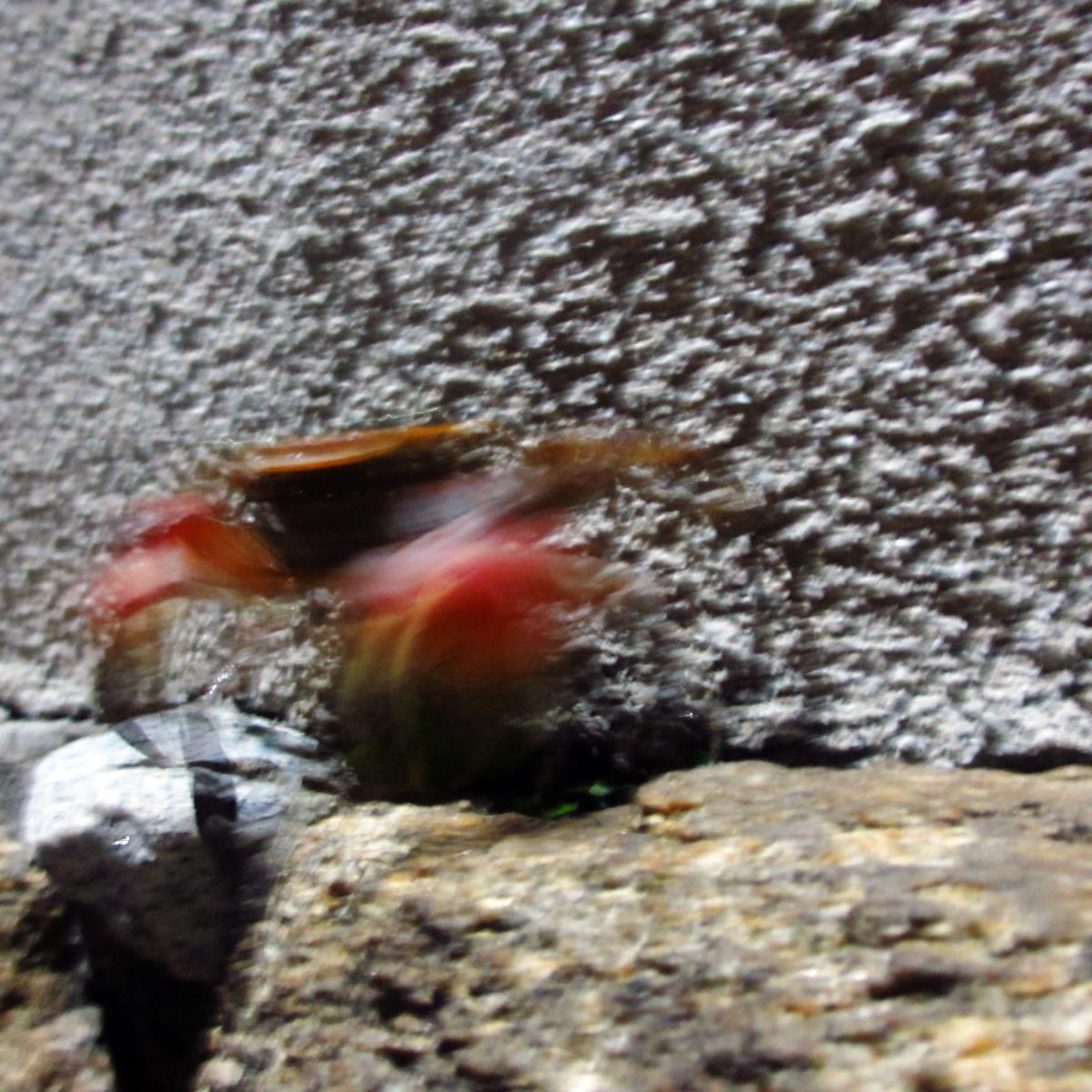 夜、ばったり出会った蟹の写真 (5)