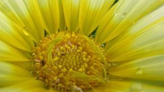 黄色いガーベラの無料写真