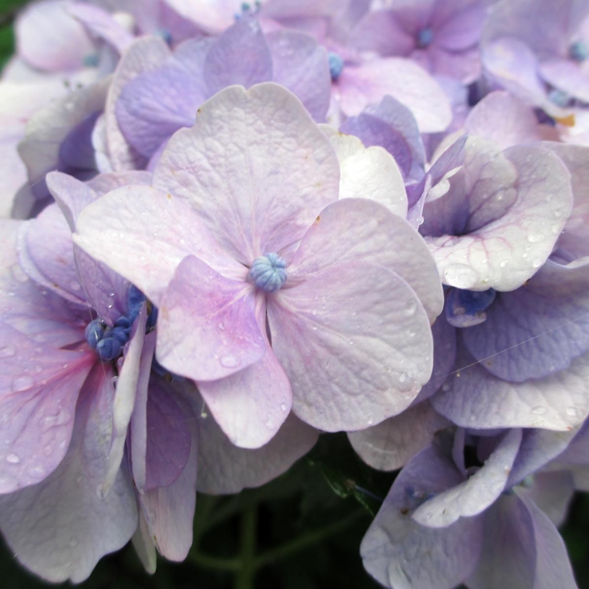 紫陽花20150626 (6)