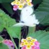 ランタナの蜜を吸うモンシロチョウの無料写真