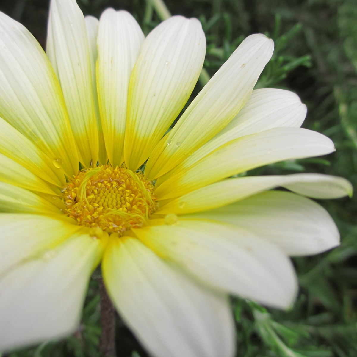 黄色いガーベラ20150624 (7)