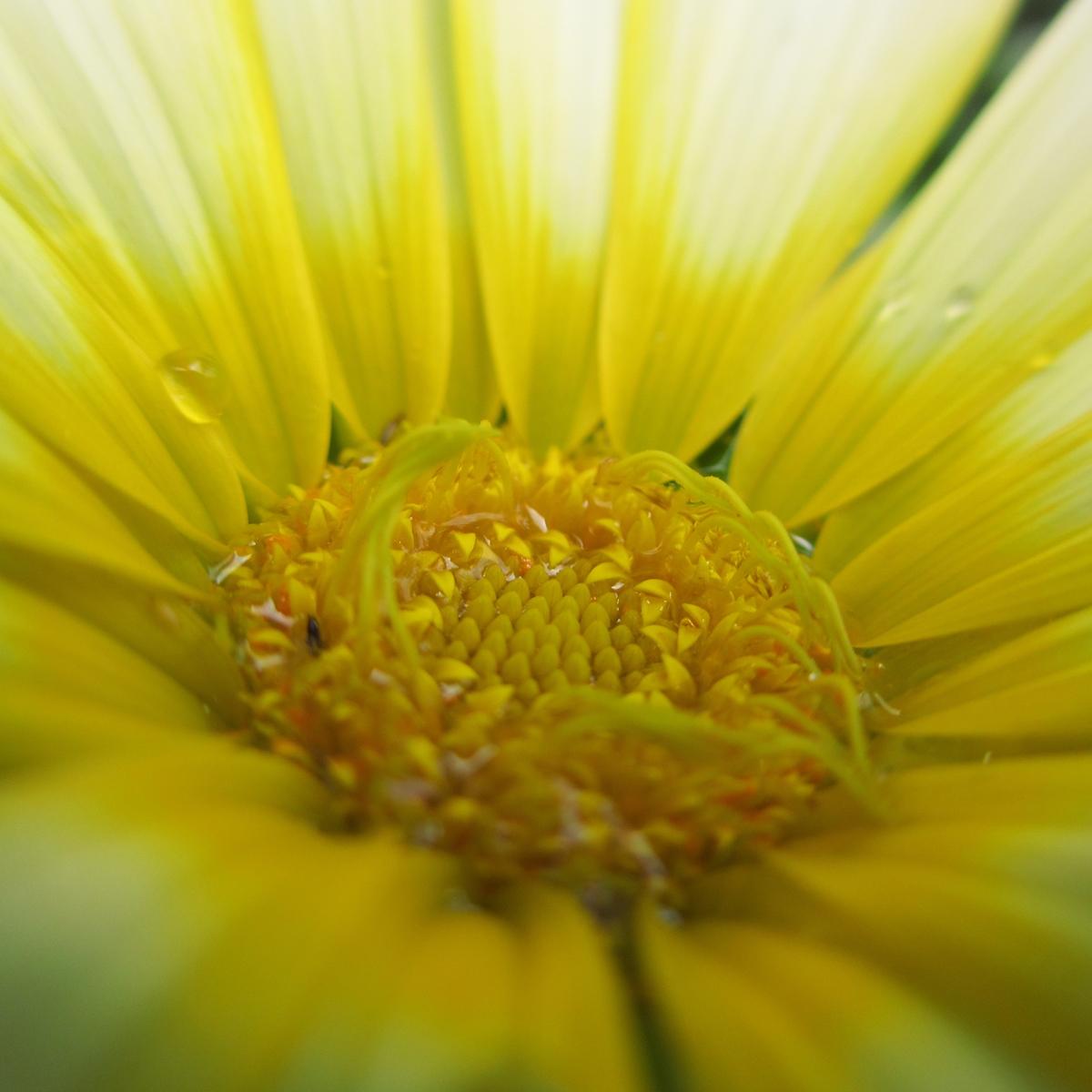 黄色いガーベラ20150624 (6)