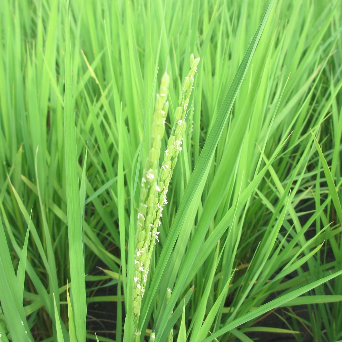 7月の田んぼの稲20150710 (4)