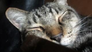 ニャンモナイト!丸まって寝ているキジトラ猫の無料写真